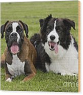 Boxer And Border Collie Wood Print