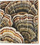 Bracket Fungus 1 Wood Print