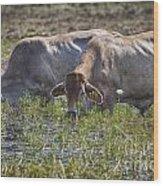 Brahman Cattle At The Waterhole Wood Print