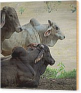 Brahman Cattle Wood Print by Peggy Collins