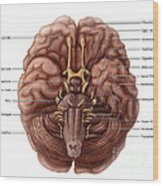 Brain And Cranial Nerves Wood Print