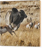Brahma Bull Meets The Pronghorn Wood Print