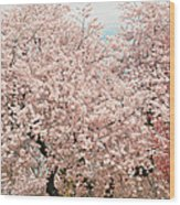 Branch Brook Cherry Blossoms Iv Wood Print