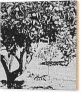 branches of green unripened oranges on an orange tree bush growing in a garden Tenerife Canary Islands Spain Wood Print