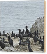 Brandt's Cormorant Colony At Point Lobos State Natural Reserve Wood Print
