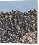 Brandts Cormorant Colony Wood Print