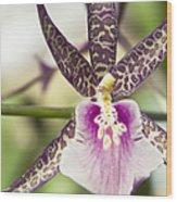 Bratonia Miltassia Charles M Fitch Izumi Orchid Hawaii  Wood Print