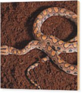 Brazilian Rainbow Boa Wood Print