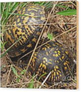Breeding Box Turtles Wood Print