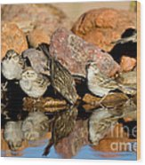 Brewers Sparrows At Waterhole Wood Print