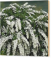 Bridal Wreath Spirea - White Flowers - Florist Wood Print