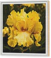 Bright Bright Spring Yellow Iris Flower Fine Art Photography Print  Wood Print