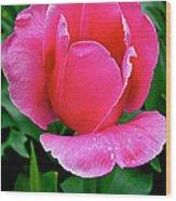 Bright Pink Tulip In Kuekenhof Flower Park-netherlands Wood Print
