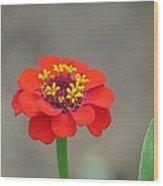 Bright Zinnia Wood Print