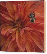 Brilliant Red Dahlia Wood Print