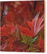 Brilliant Red Maples Wood Print by Linda Unger