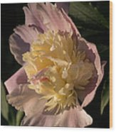 Brilliant Spring Sunshine - A Showy Pink Peony From My Garden Wood Print