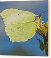 Brimstone Butterfly Wood Print