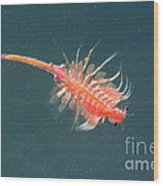 Brine Shrimp Wood Print