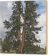 Brisslecone Pine Tree Wood Print