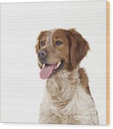 Brittany Dog, Close-up Of Head Wood Print