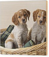 Brittany Dog Puppies In Basket Wood Print