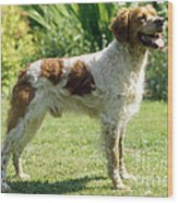 Brittany Dog, Standing Side Wood Print