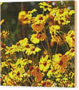 Brittle Bush In Bloom  Wood Print