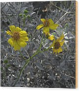 Brittlebush Flowers Wood Print