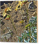 Brittlebush On Borrego Palm Canyon Trail In Anza-borrego Desert Sp-ca Wood Print