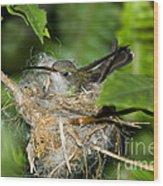Broad-billed Hummingbird In Nest Wood Print