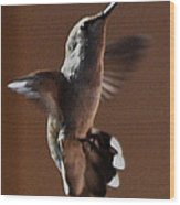 Broadtail Female Anna In Flight  Wood Print