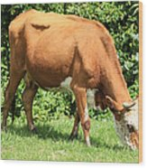 Brown And White Cow Grazing Wood Print