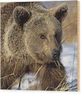 Brown Bear Eating Dry Grasses Wood Print