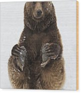 Brown Bear Holding Its Paws Germany Wood Print