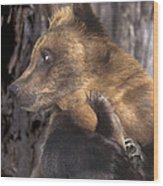 Brown Bear Tackles An Itchy Foot Endangered Species Wildlife Rescue Wood Print