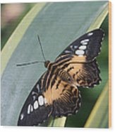 Brown Clipper Butterfly #4 Wood Print