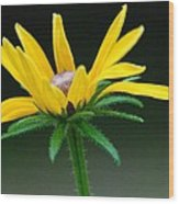 Brown-eyed Susan Wood Print