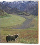 Brown Grizzly Bear In Denali National Wood Print