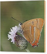 Brown Hairstreak Wood Print
