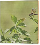 Brown Hawker Dragonfly Wood Print