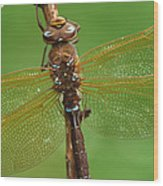 Brown Hawker Dragonfly Switzerland Wood Print