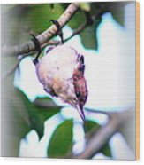 Brown-headed Nuthatch 9173-006 Wood Print