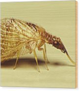 Brown Lacewing Fly Wood Print