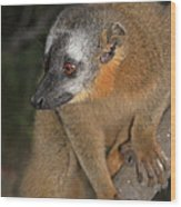 brown Maki Madagascar 2 Wood Print