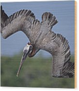 Brown Pelican Diving Academy Bay Wood Print