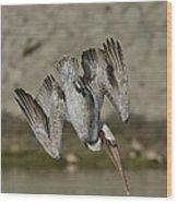 Brown Pelican Diving Wood Print