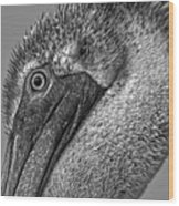 Brown Pelican In Black And White Wood Print