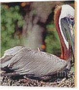 Brown Pelican Incubating Eggs Wood Print