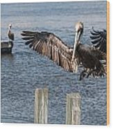 Brown Pelican Touchdown Wood Print